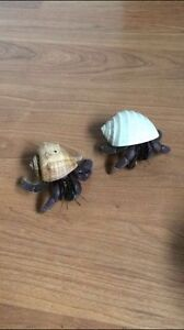 Hermit Crabs (Comes with everything needed)