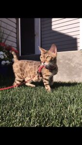 Looking to rehome female Bengal