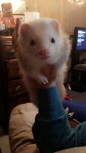 2 year old Ferret