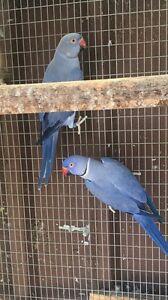Breeding indian ringneck pair Hurstville Hurstville Area Preview