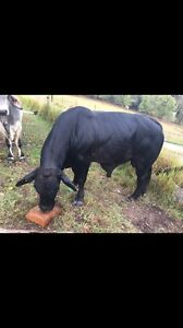 3 year old Brangus Bull (Purebred) Kingsholme Gold Coast North Preview