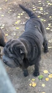 Purebred Registered blue shar pei