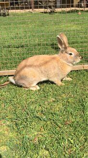 Rabbits free to good homes. Lancefield Macedon Ranges Preview