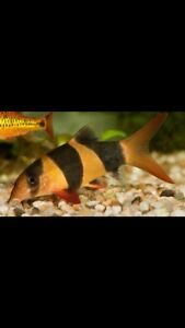 Clown Loaches im looking to buy