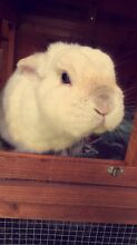 Beautiful male rabbit and hutch for sale Gwandalan Wyong Area Preview