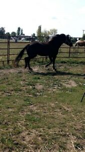 Morgan/arab mare for sale !