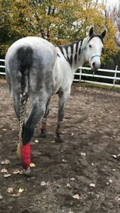 Cheval 5 ans guilding QH