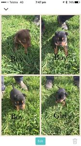 Kelpie Pups Tunnack Southern Midlands Preview