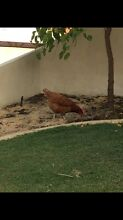 Free Chicken Ellenbrook Swan Area Preview