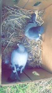 Pigeons, free to a good home Collaroy Manly Area Preview