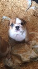 British Bulldog pups BBD puppies English Purebred Pedigree Camden Camden Area Preview