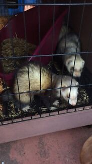 2 ferrets available male and female +cage Fairfield Heights Fairfield Area Preview