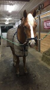 Beautiful Gelding for lease;