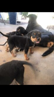 2 PUREBRED ROTTWEILER PUPPIES FOR SALE