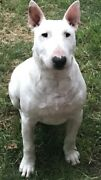 BULL TERRIER PUP... Virginia Playford Area Preview
