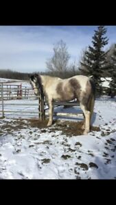 5 year old grade mare