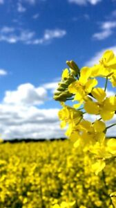 Heated or Offgrade Spring Canola