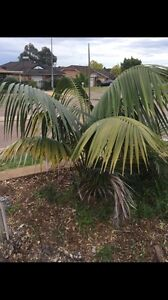 Palm tree plant St Helens Park Campbelltown Area Preview