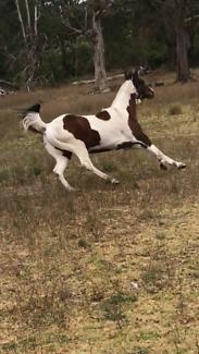 Paint horse gelding $3000 neg