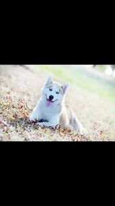 Free to good home ONLY Siberian Husky male Traralgon Latrobe Valley Preview