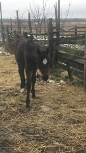 "6 month old thoroughbred filly ""Destiny"""