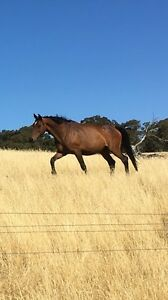 Warmblood broodmare for lease Berringa Golden Plains Preview