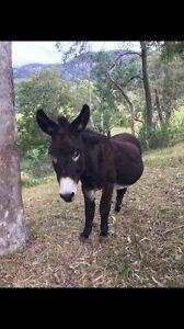 DONKEY$ Unwanted Donkeys wanted Jack Jenny Calderwood Shellharbour Area Preview