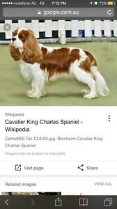 Wanted: Looking for King Charles Cavalier Female