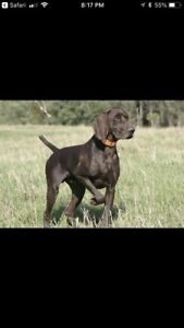 Looking for a German short haired pointer puppy