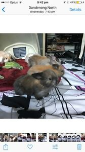 PUREBRED Mini Lop Eared bunnies for sale Dandenong North Greater Dandenong Preview