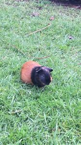 Did you lose a Guinea pig?? Footscray Maribyrnong Area Preview