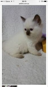 Wanted Female Ragdoll kitten Thornton Maitland Area Preview