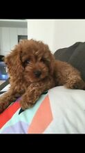 WANTED - Cavoodle puppy Joondanna Stirling Area Preview