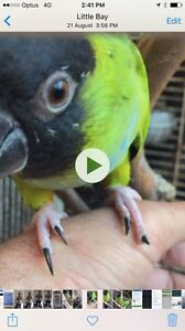 Nanday Conure Woolloomooloo Inner Sydney Preview