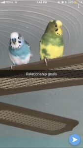 BUDGIES WITH CAGE AND ACCESSORIES