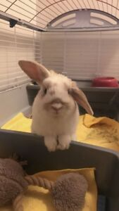 Holland Lop Bunny w/ cage and more