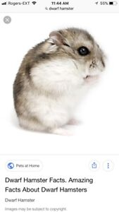 WANTED: Dwarf Hamster
