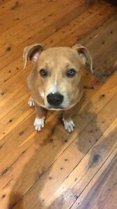 Pup for Sale South Penrith Penrith Area Preview