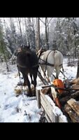 Black and Grey Percheron team of horses / harness and trailer