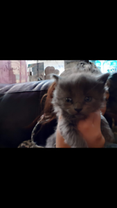 Kitten fluff ball