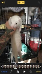 YOUNG FERRET with large cage