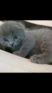 Pure Scottish Fold(ed ears) kittens
