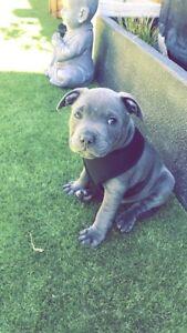 Blue English Staffy Puppy
