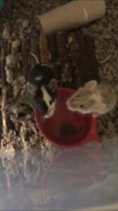 Fancy Mice for Rehoming