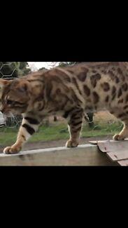 Stunning Bengal male
