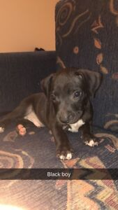 American Blue Staffy X Red Nose Staffy pups