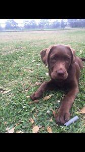 Pure bred chocolate Labrador Hunters Hill Hunters Hill Area Preview