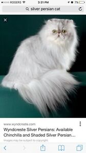 Looking for a Persian Kitten/cat