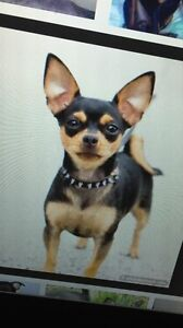 I AM LOOKING FOR A MINI CHIHUAHUA LIKE THIS