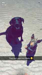 LOST black Labrador and kelpy cross border collie puppy lost Waterloo Corner Playford Area Preview